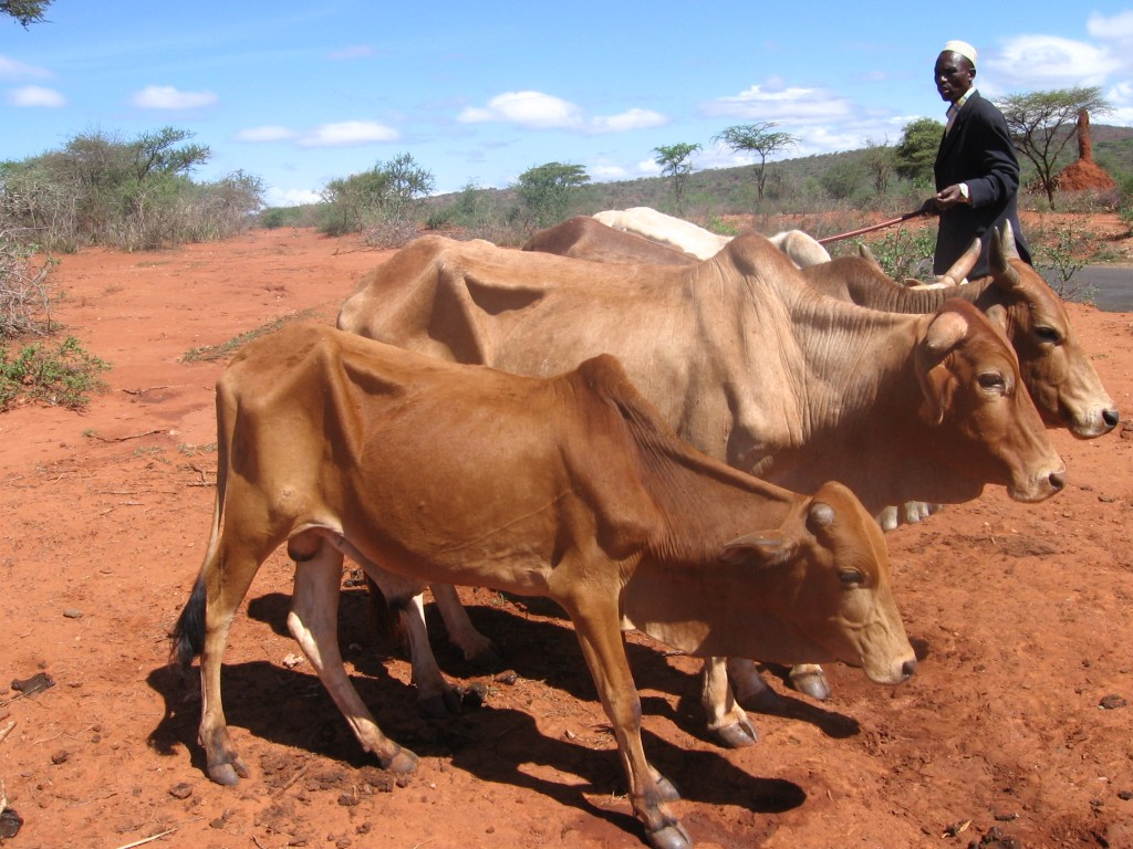 maciated cattle in southern Oromo region in drought-affected Ethiopia, close to Kenyan border (Photo: Simon Roughneen)