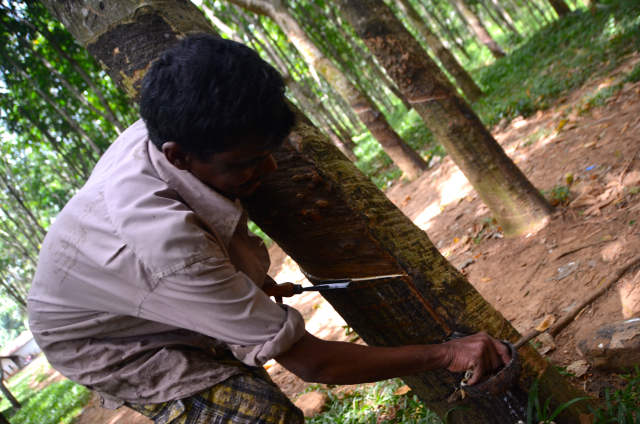 Tapping rubber is  a job mostly done by smallholders (Photo: Simon Roughneen, central Sri Lanka. June 2014)