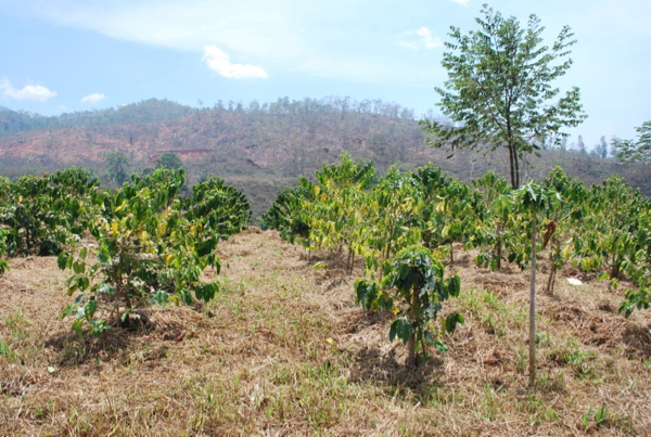 Coffee plantation on the hills close to Ermera in East Timor (Photo: Simon Roughneen)